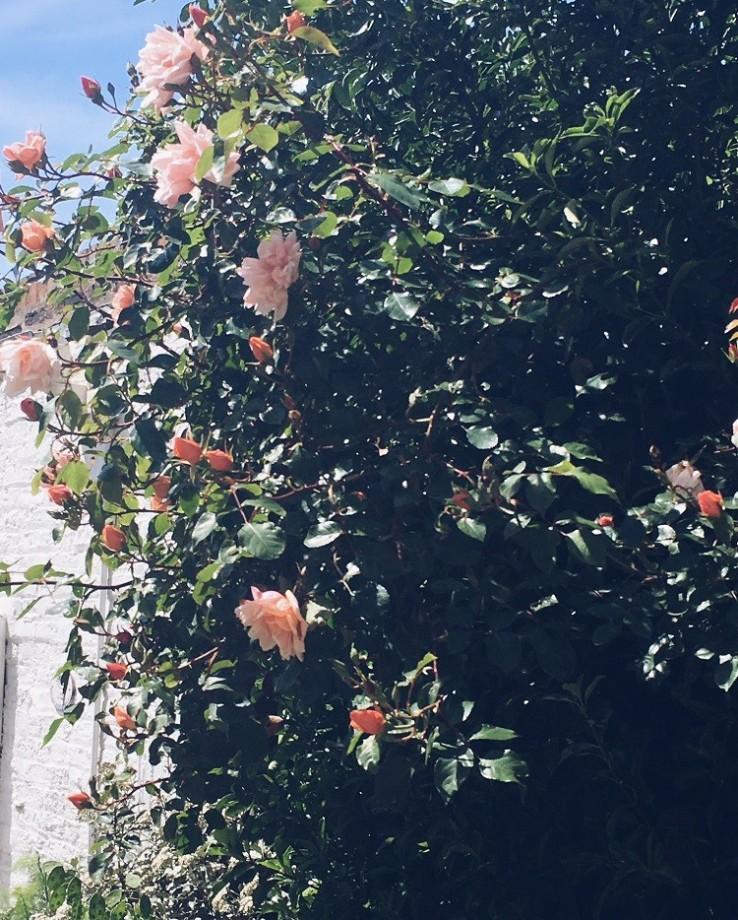rambling pink rose