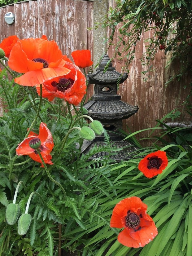 poppies in english country garden